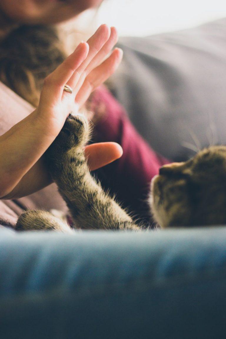 Gato juega en sofá con su dueño