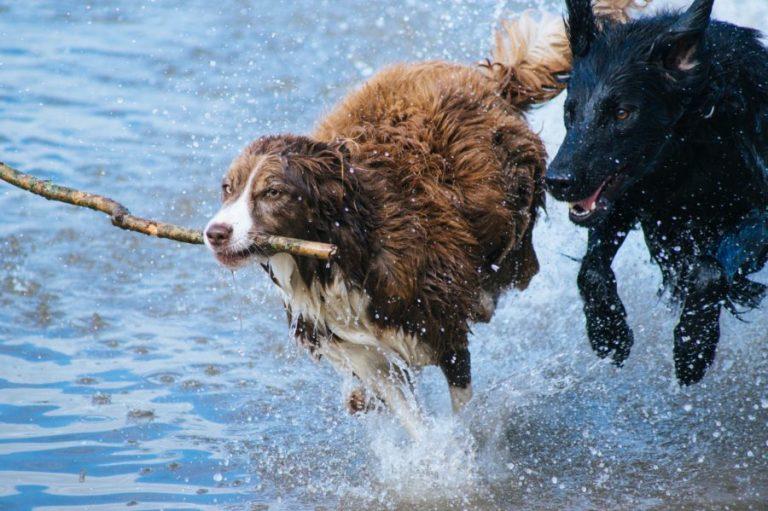perros corren en el agua