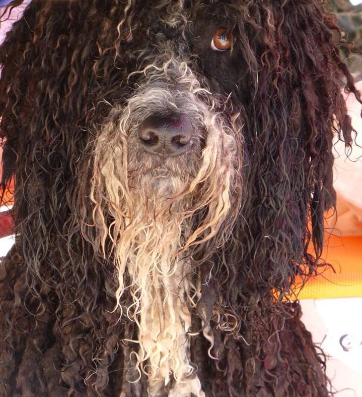 Perro de agua con huesos fuertes