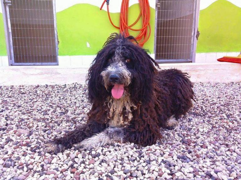 Dik perro de agua esterilizado