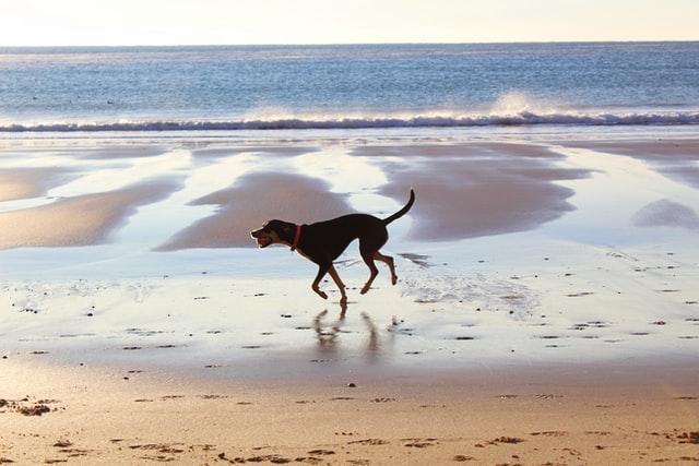 Perro corriendo por la orilla de la playa