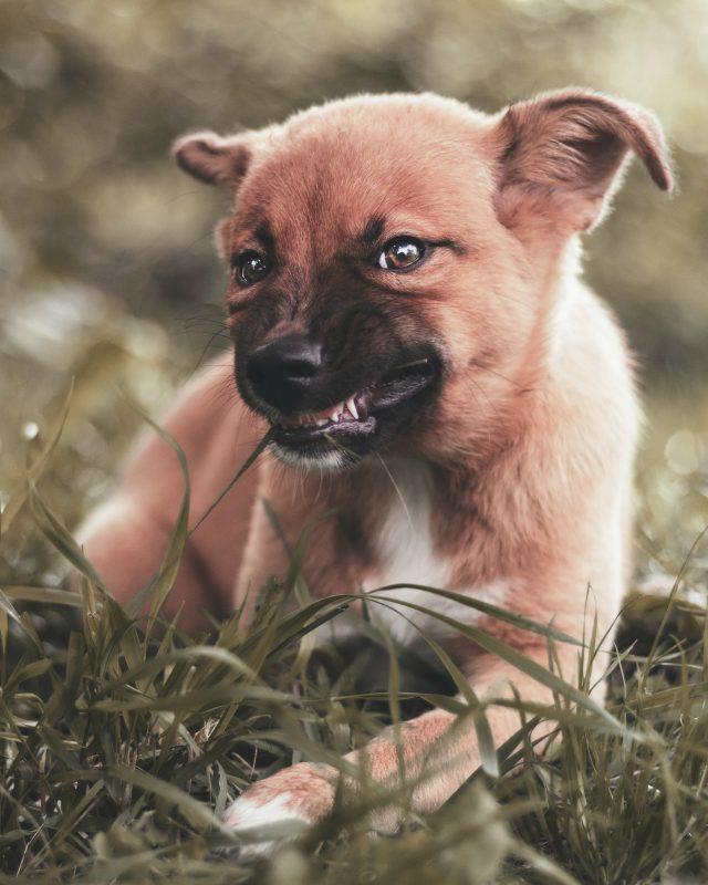 cachorro comiendo hierba
