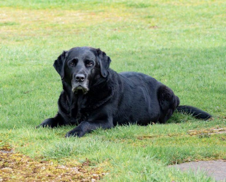 labrador negro de avanzada edad descansa en cesped
