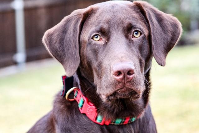 Perro labrador con cara de glotón
