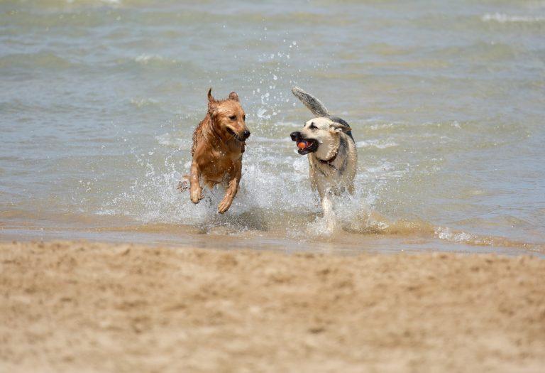 Dos perros jugando en el mar