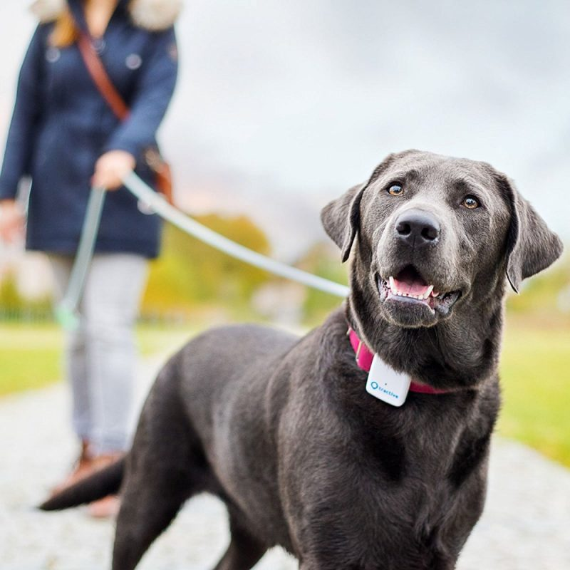 perro labrador con gps rastreador
